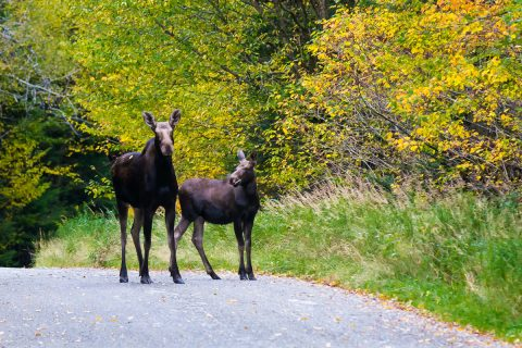 moose, moose alley, pittsburg, new hampshire, NH, moose watching, wildlife watching, magalloway road, fall foliage, autumn
